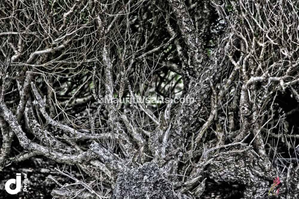 Mauritius Arts & Artists - mauritius-arts-djunaid-jeetoo-tangle